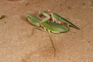 mantis having sex