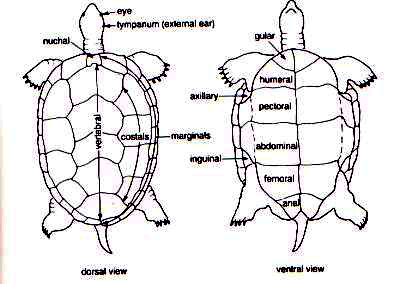 The Reptipage The Chelonian Bodyplan