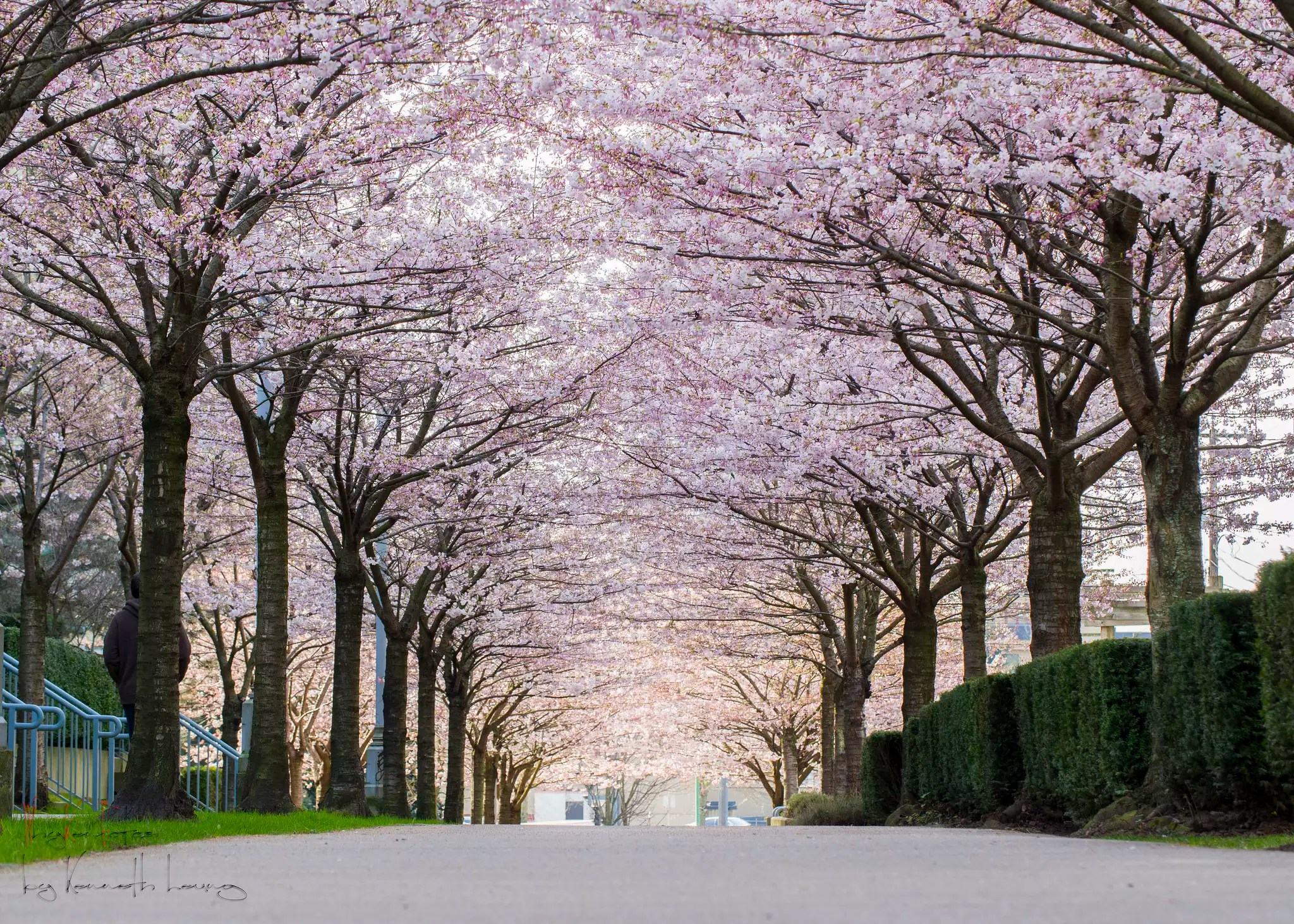 Falling Rose Petals Live Wallpaper A Guide To Vancouver S Cherry Blossoms