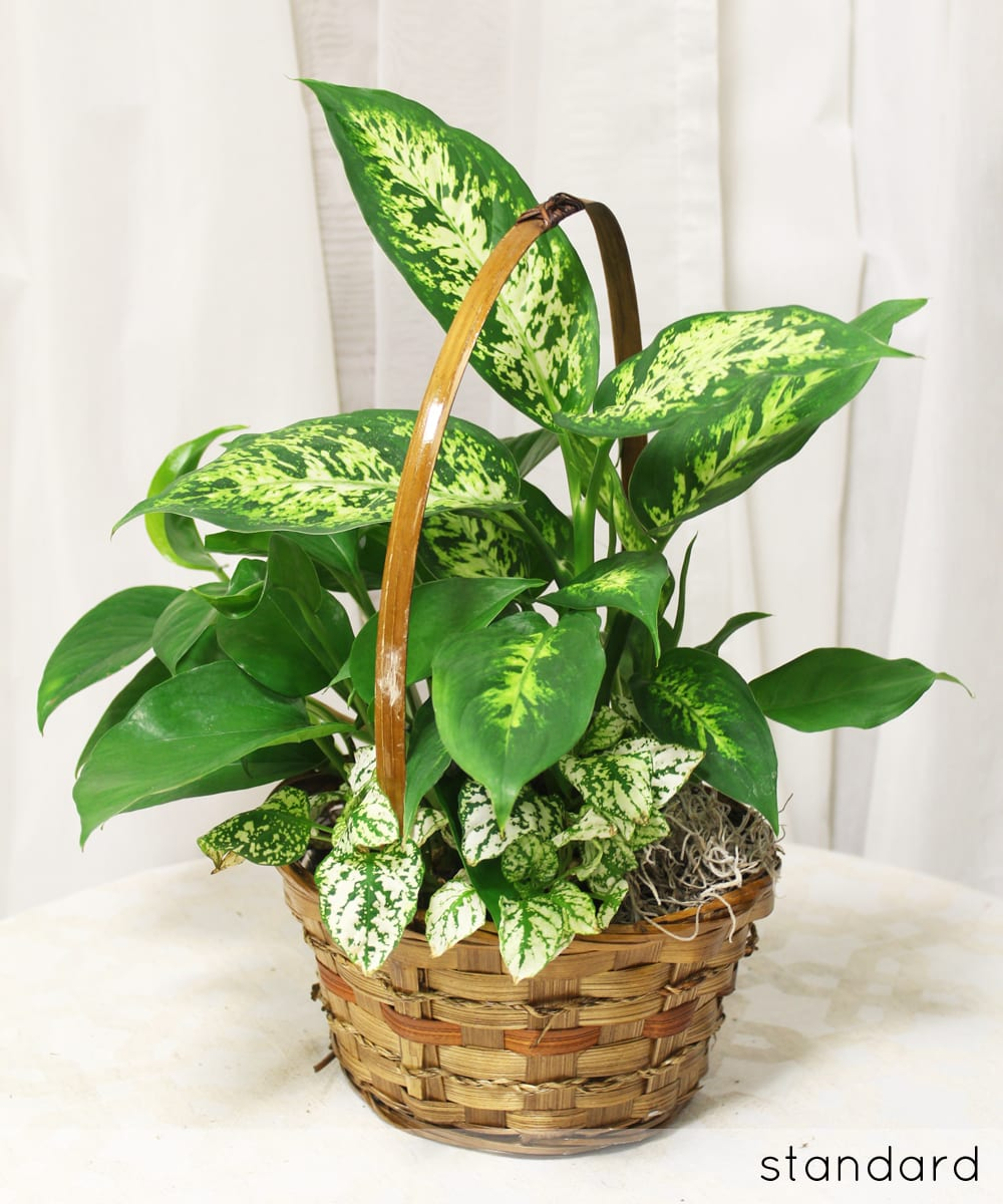 Where To Buy Indoor Plants Online Cozy And Leafy Potted Plants By Azar S Florist