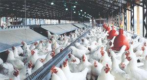 Tipe kandang yang Ideal Untuk Budidaya Ayam Boiler