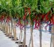 Panduan cara Tanam Budidaya tanaman Cabai
