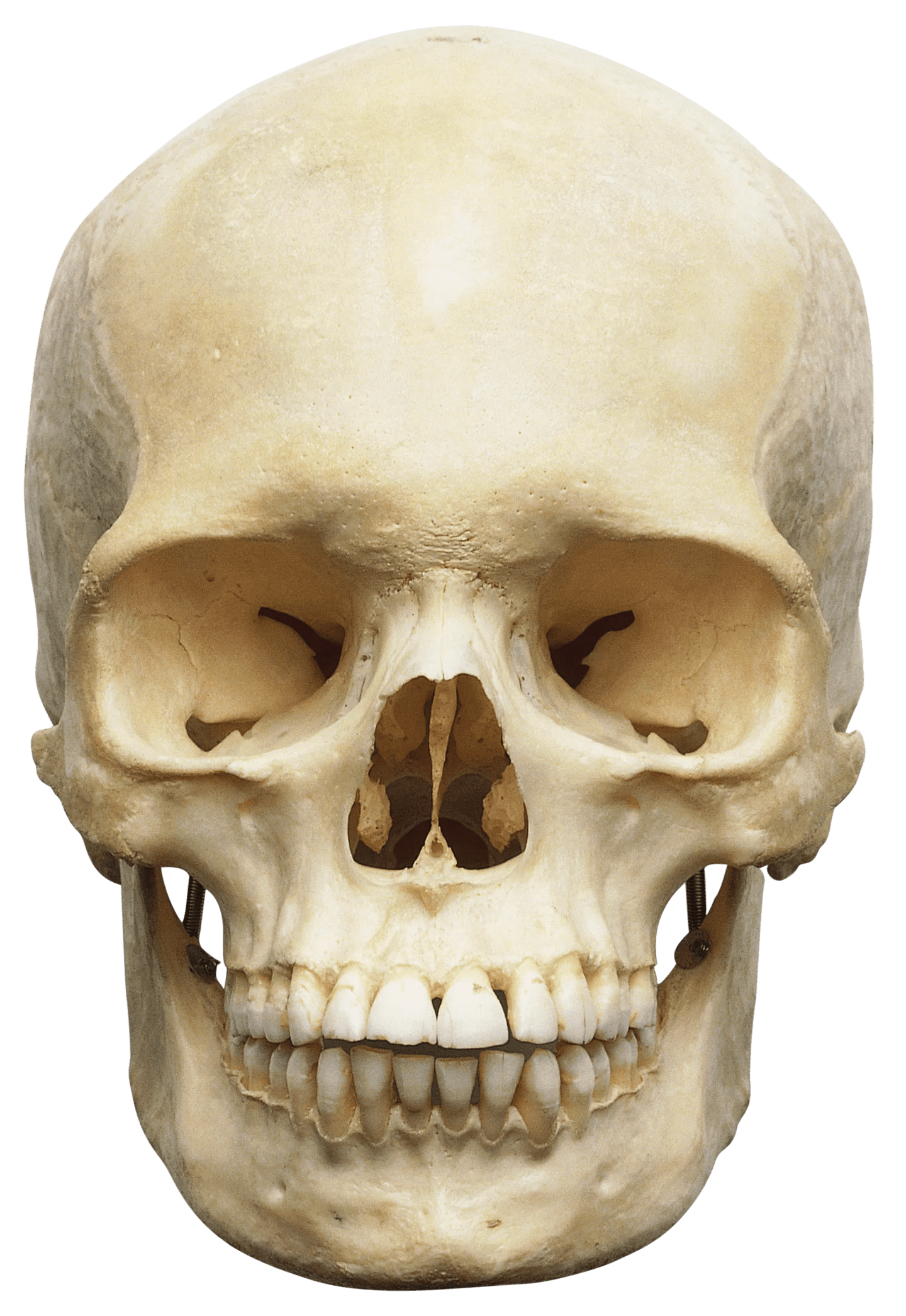 Human Skull Human Skull Anatomy Bones In Human Skull Dk Find Out