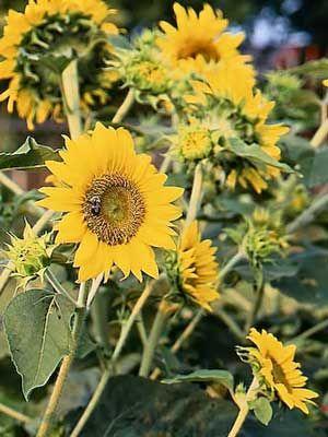 Sunflower Grow Guide