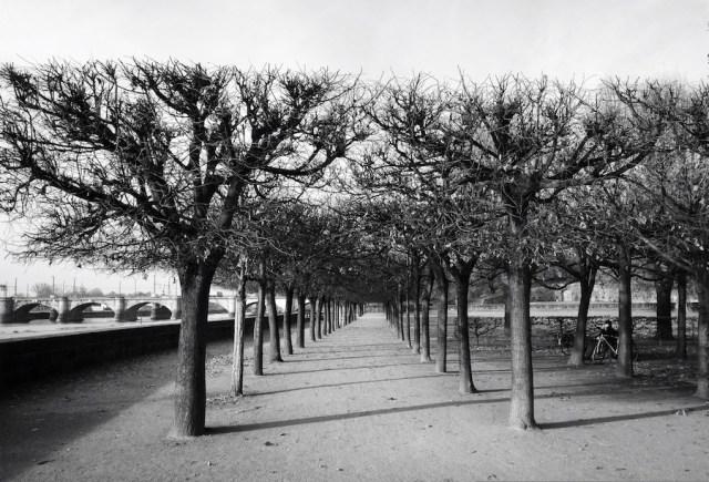 Деревья на берегу Эльбы, Дрезден, 2012