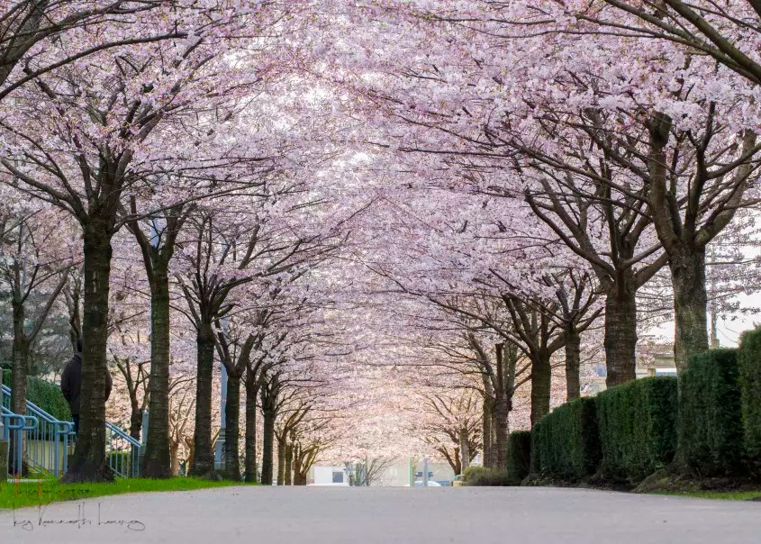 Sakura Falling Live Wallpaper A Guide To Vancouver S Cherry Blossoms