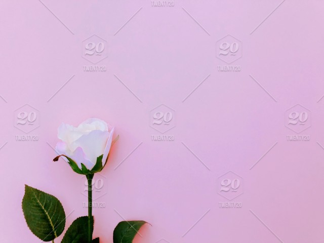 White (light pink) rose on blank sweet pink paper background Blank