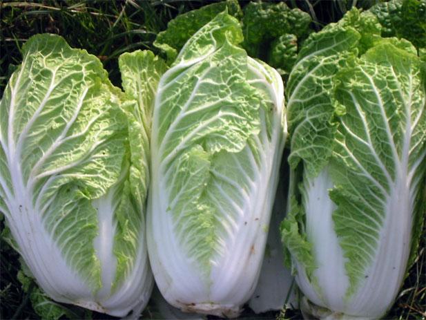 What To Grow Now: Chinese Cabbage - Yuppiechef Magazine