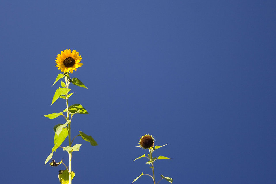 Desktop Wallpaper Animals Download Free Sunflowers Free Stock Photo Sunflowers Isolated On A