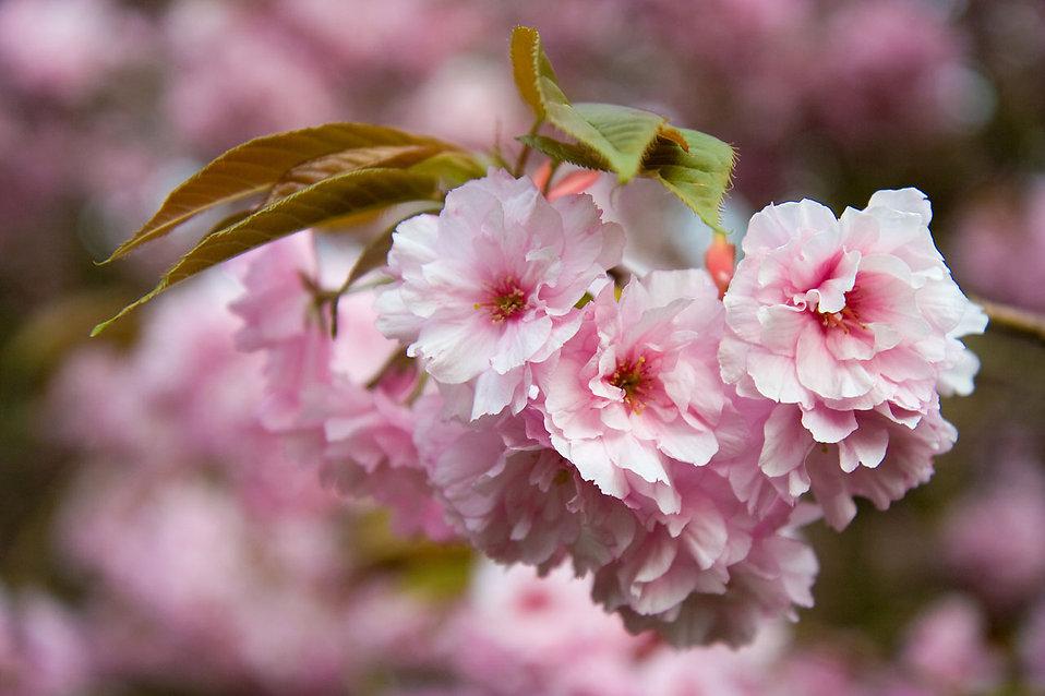 Black Mold Under Wallpaper Flowers Pink Free Stock Photo Japanese Flowering