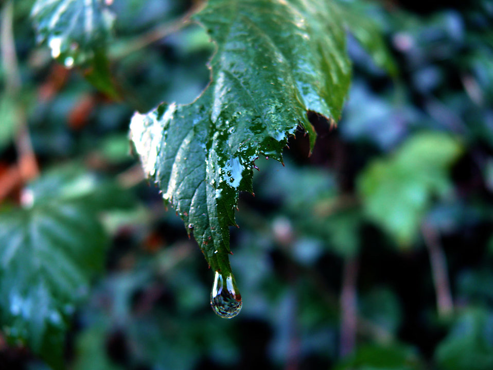 Fall Wallpaper Water Leaves Free Stock Photo A Drop Of Rain On A Leaf 9222