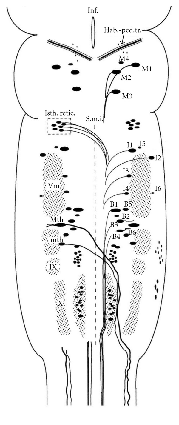 Schematic Drawing Of A Dorsal View Of The Sea Lamprey