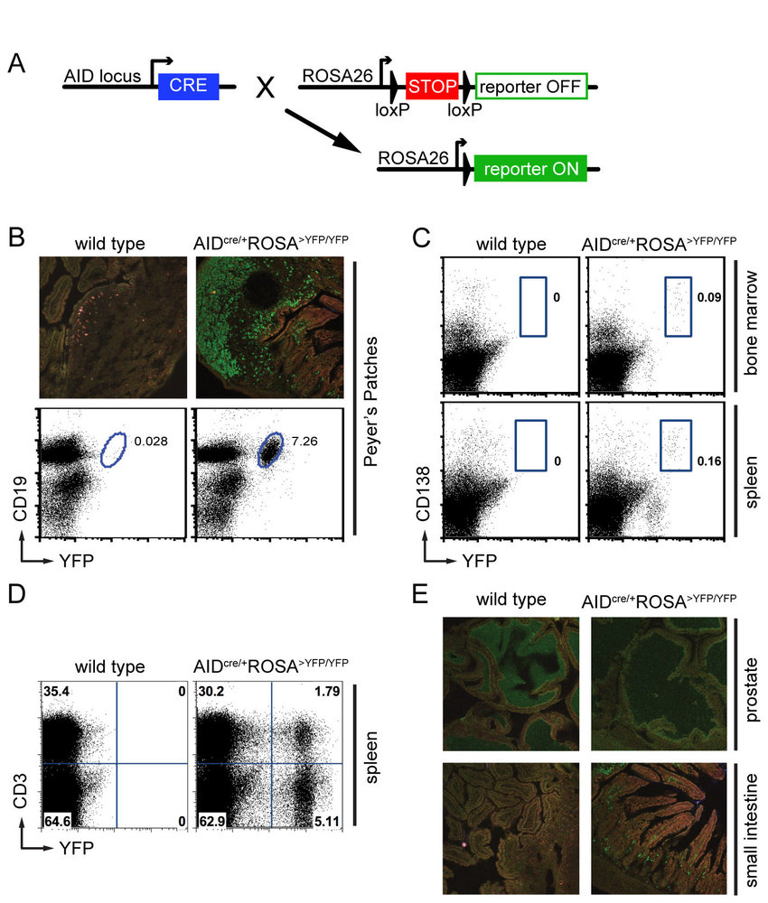 Vasco Non Stop Download Fate Mapping Identifies Known Aid Expressing Cells A Schematic
