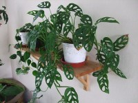 Swiss Cheese Plant Decoration Ideas In Your Office