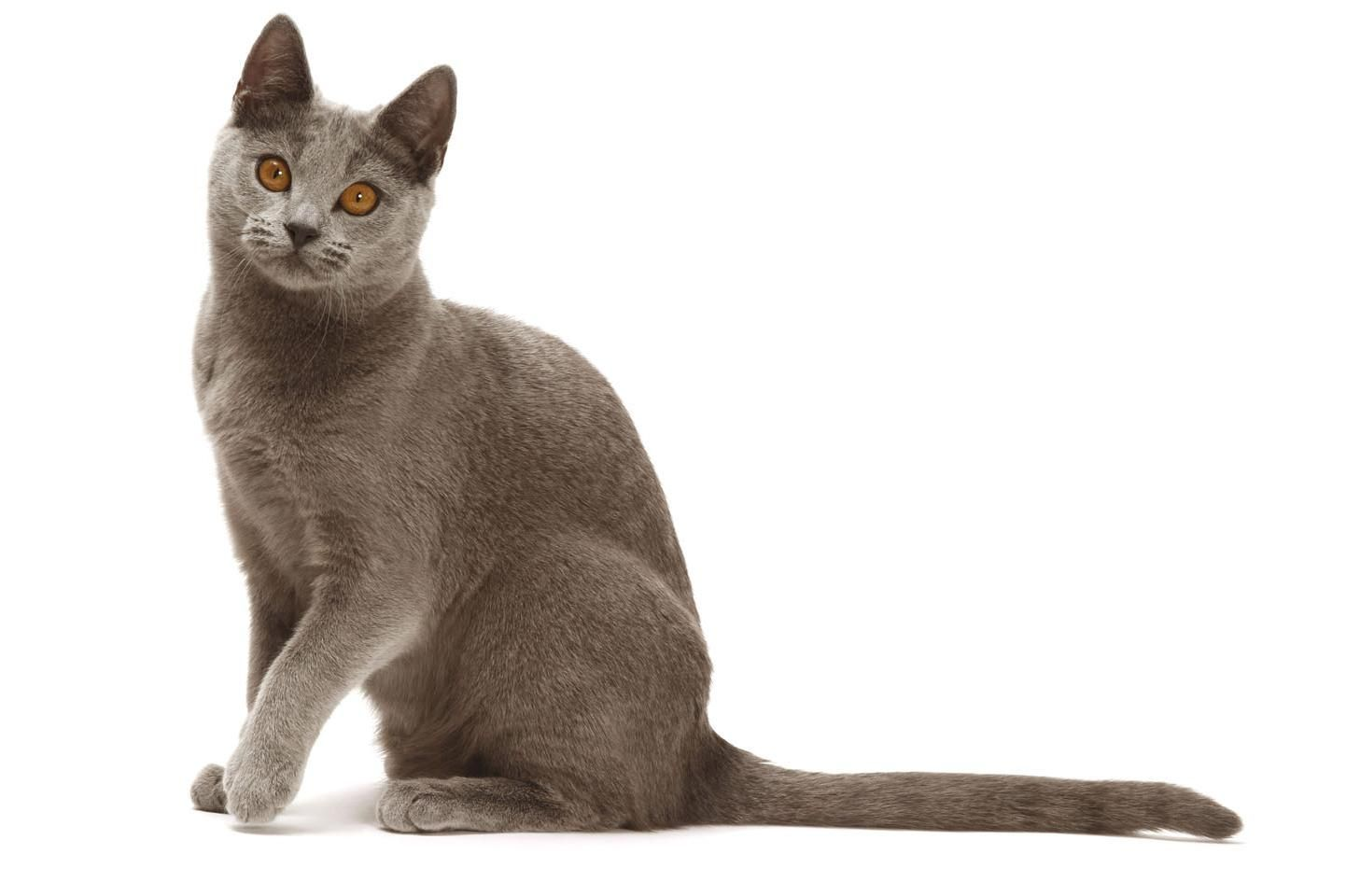 Chartreux Chaton Chartreux Chat Chartreux Doctissimo