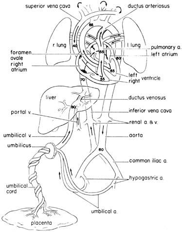 Fetal Circulation GLOWM