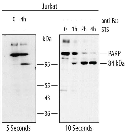 Human/Mouse PARP Antibody MAB600 RD Systems - western blot