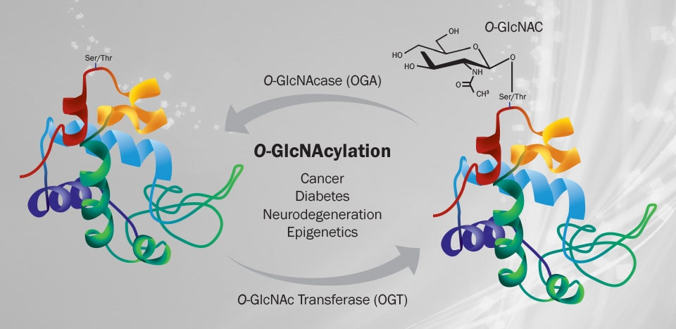O-GlcNAcylation New Tools to Investigate this Important Post