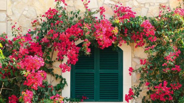 A Beginner39s Guide To Growing Bougainvillea In New Zealand
