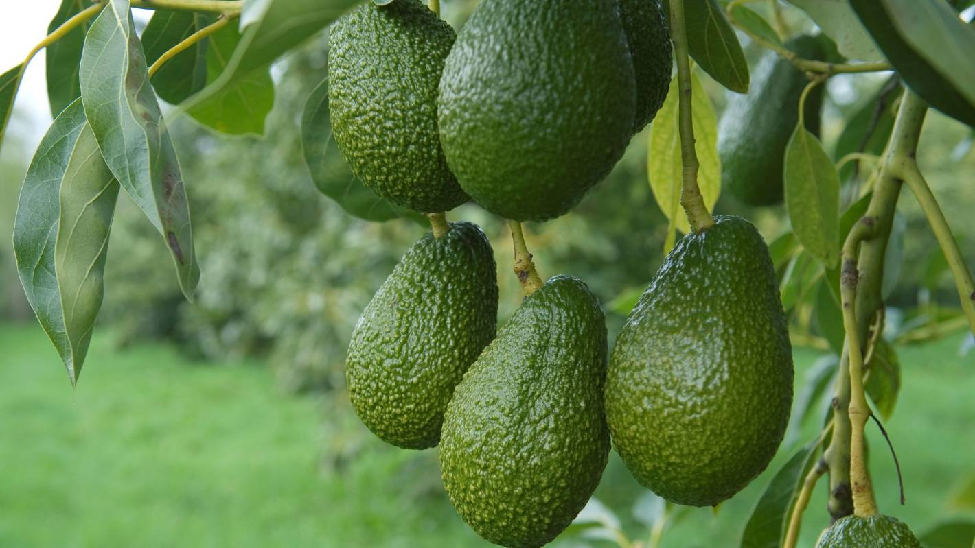 Avocado Boom Kerikeri Business Becomes World S Largest Organic Avocado Oil