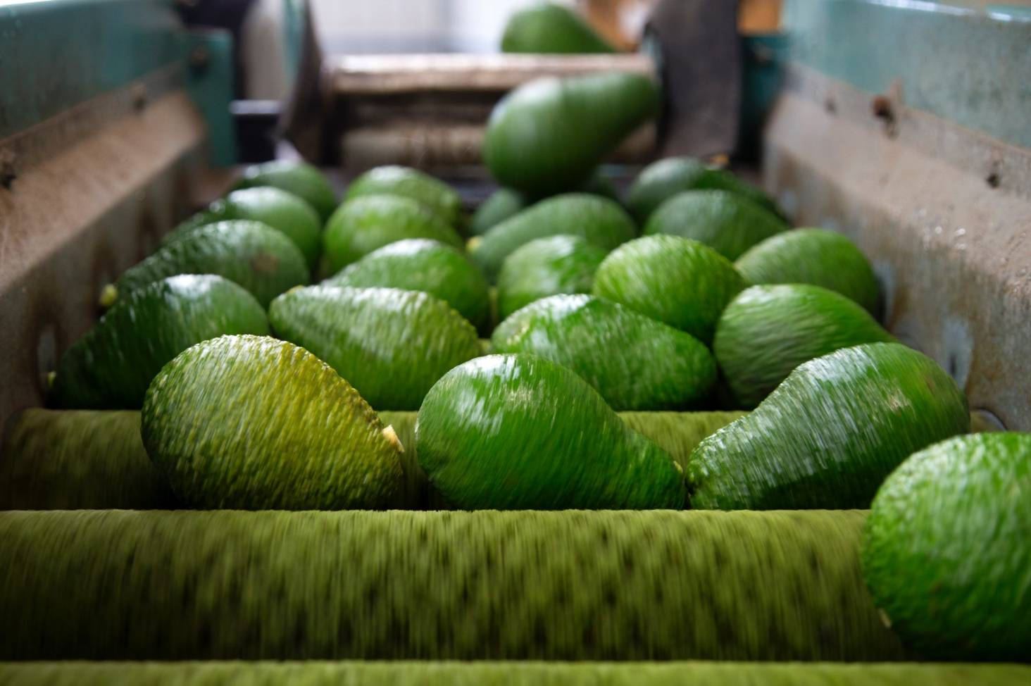 Avocado Boom Country S Avocado Shortage Continues As Exports Boom But