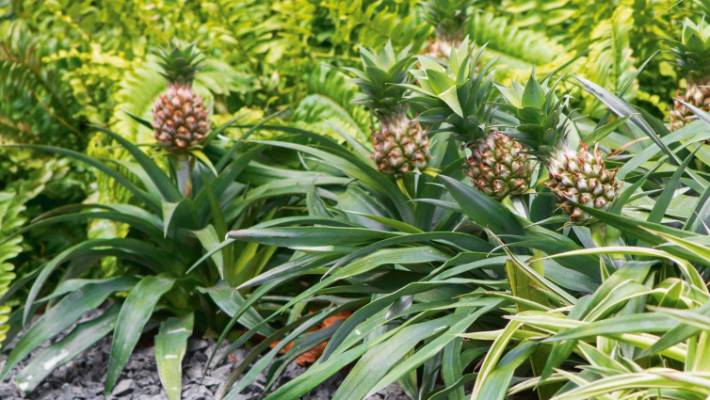 Yes, you can grow pineapples in New Zealand Stuffnz