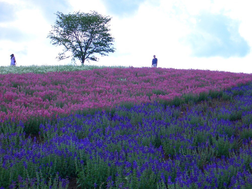 The Rainbow of Flowers in Biei and Furano, Japan (2/6)