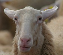 Suspicious sheep via John Haslam
