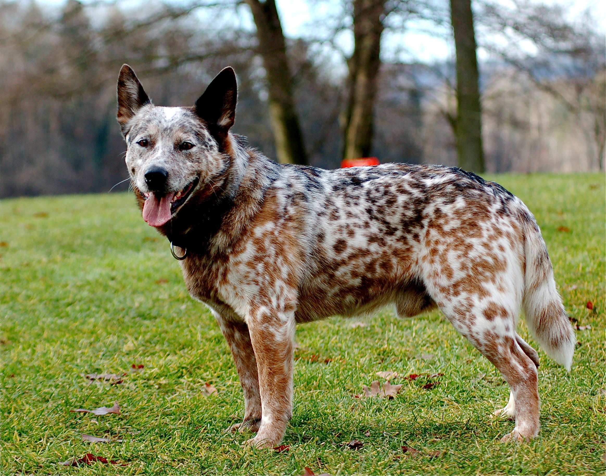 Australian Cattle Dog Australian Cattle Dog Natural History