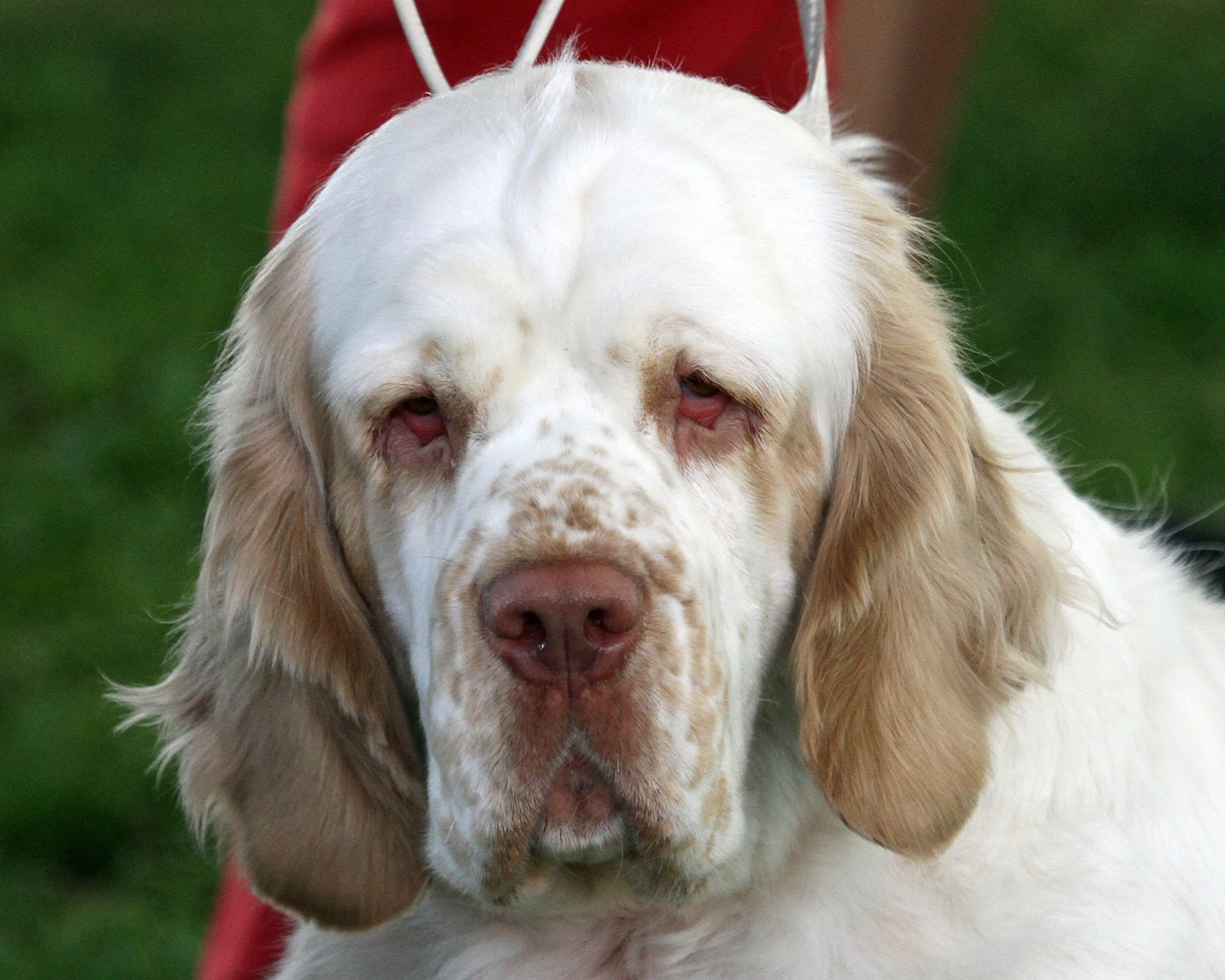 Clumber Spaniel Back To The Future For Clumber Spaniels Canis Lupus Hominis