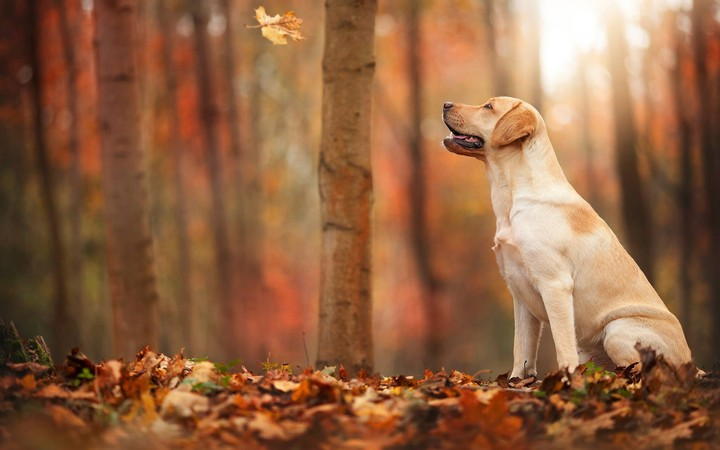 Fall Leaves Wallpaper Border Labrador Retriever In Autumn Forest Wallpaper By Kyouko