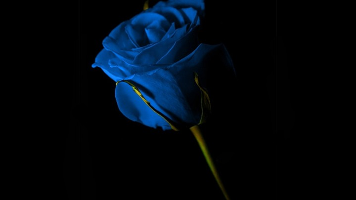 Blue Rose Flower on Black background wallpaper by kyouko
