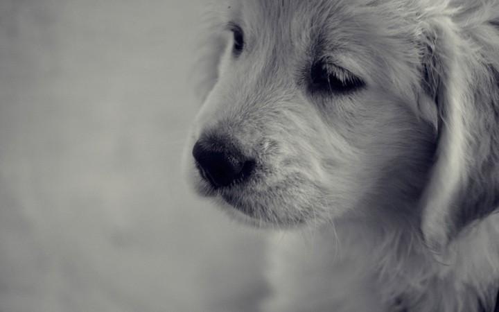 Cute Puppies Images Wallpapers Golden Retriever Puppy Dog Sad Background Desktop