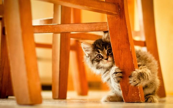 Animal Desktop Wallpaper Kitten Hiding Behind Chair Leg Wallpaper By Thormark