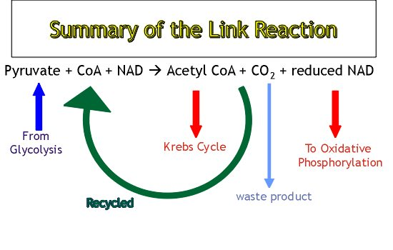 Glycolysis and the Krebs cycle - Biology Revision