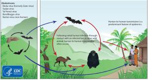 Existem 5 estirpes do vírus que se pode transmitir pelo contacto animal-humano ou humano-humano.