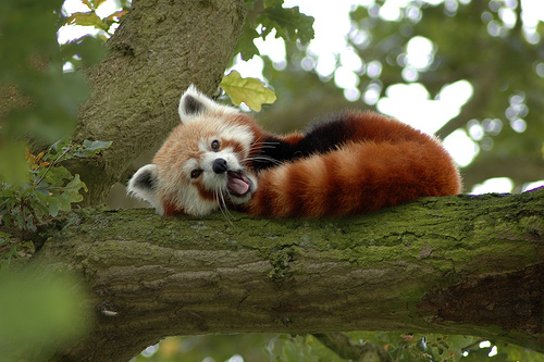 firefox red panda