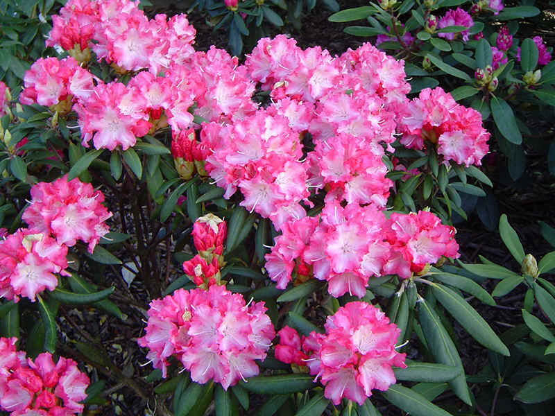 Bloeitijd Rododendrons Assortment Of Pink-flowering Rhododendrons