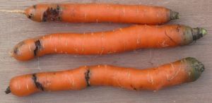 Carrot fly damage