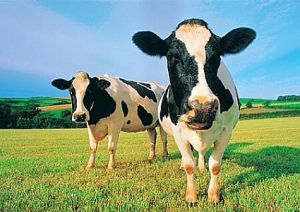 two-cows
