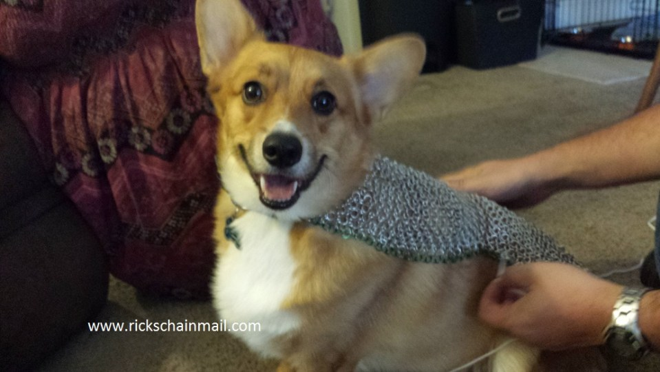 Rugby the Corgi in his chain shirt