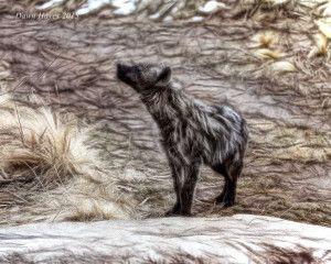 hyenna-black-and-whiteweb-300x240.jpg