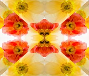 Poppies--b.jpg