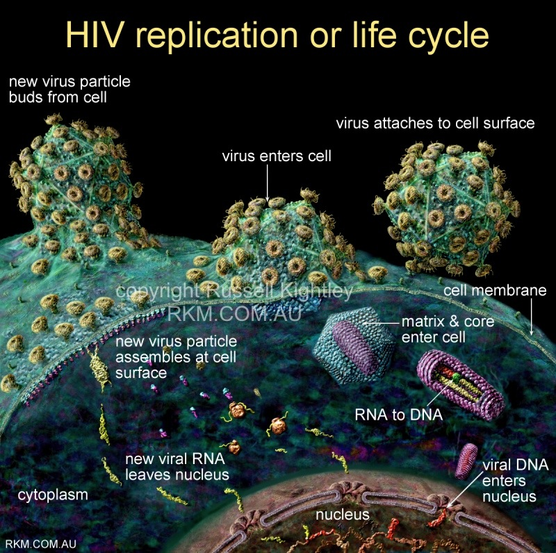 HIV AIDS virus replication (viral life cycle) diagram by Russell
