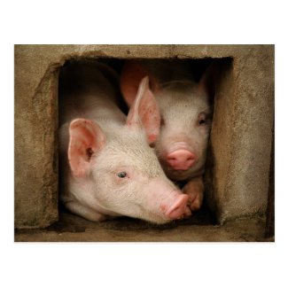 A couple of curious piglets stick their heads postcard