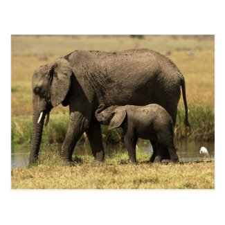 African Elephants at water pool Postcards