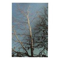 Birch Wood Wall Art | Zazzle