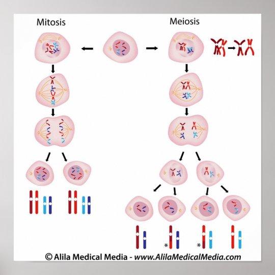 meiosis vs mitosis diagram