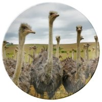 Ostrich Bird Dinner Plate   Zazzle