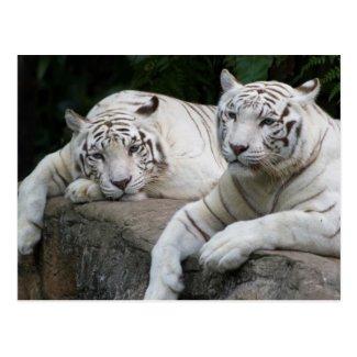 Tiger Pair Postcard